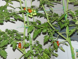 tomatotati