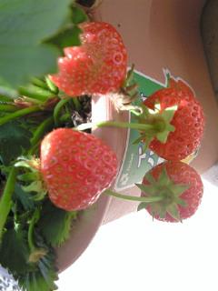 イチゴ収穫!!